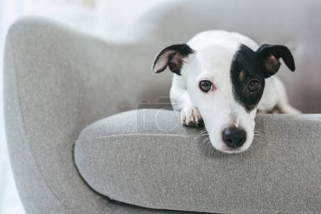 Photo pour Triste Jack Russell terrier chien couché sur le fauteuil - image libre de droit