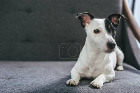 jack russell terrier dog lying on armchair