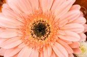 """Постер, картина, фотообои """"крупным планом вид цветка розовые герберы"""""""