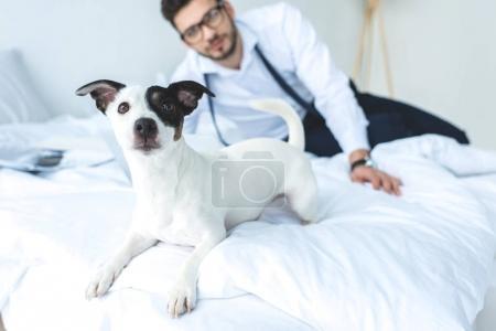 Photo pour Jack drôle chien de terrier russell allongé sur le lit avec l'homme derrière - image libre de droit