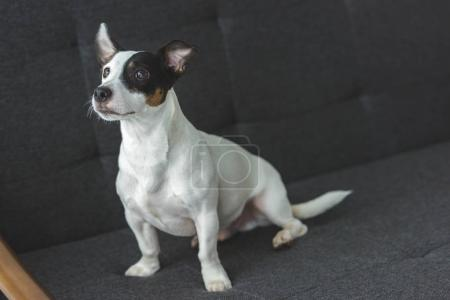 funny jack russell terrier dog sitting on sofa at home