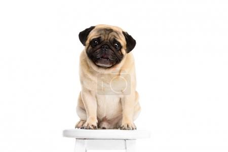 cute little pug sitting on chair isolated on white