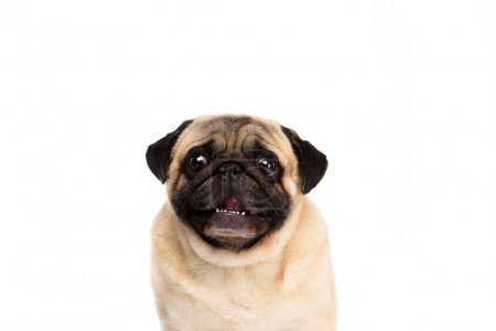 adorable little pug isolated on white