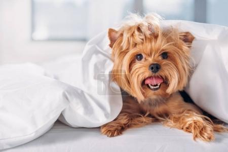 close up view of cute little yorkshire terrier lying on bed covered with blanket