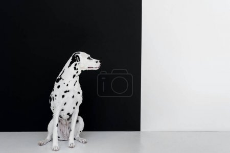 one cute dalmatian dog sitting near black and white wall and looking away