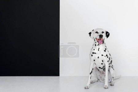Photo pour Un chien mignon Dalmatien assis près du mur noir et blanc - image libre de droit