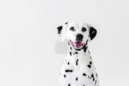 one cute dalmatian dog with open mouth isolated on white