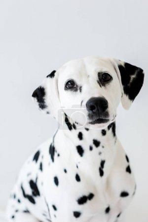 one cute dalmatian dog isolated on white