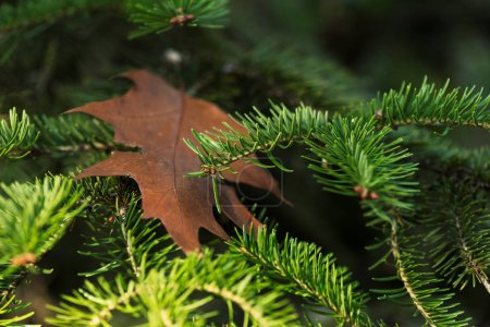 Photo for Close-up view of beautiful evergreen pine tree branches - Royalty Free Image