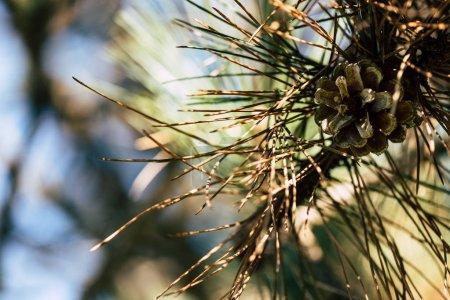 Photo pour Vue rapprochée d'une branche d'arbre beau pin à cônes - image libre de droit