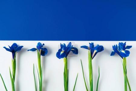 Photo pour Composition plate de fleurs d'iris sur une surface bleue et blanche coupée en deux - image libre de droit