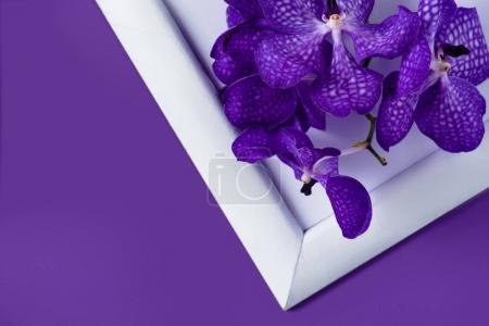 Photo pour Vue de dessus des fleurs d'orchidées sur un cadre blanc sur surface pourpre - image libre de droit