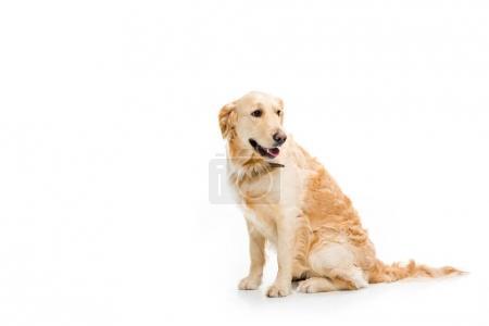 Studio shot of sitting golden retriever isolated on white