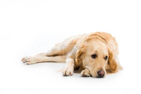 Studio shot of lying golden retriever isolated on white