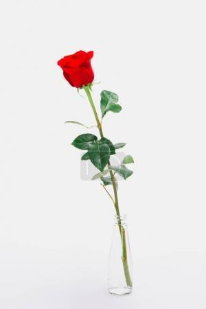 Photo pour Vue rapprochée de la belle fleur de rose rouge en fleurs dans un bocal en verre isolé sur blanc - image libre de droit