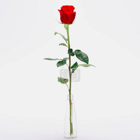 Photo pour Vue rapprochée de belle fleur de rose en fleur dans un bocal en verre isolé sur blanc - image libre de droit