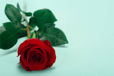 Photo pour Vue rapprochée de la belle fleur de rose rouge avec des feuilles vertes sur bleu - image libre de droit