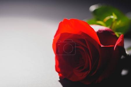close-up view of beautiful tender rose flower on grey