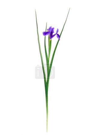 close-up view of beautiful blooming iris flower isolated on white