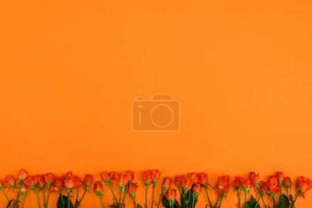 beautiful blooming roses with green leaves on orange background
