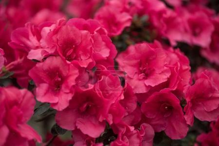Foto de Flores de primer plano vista hermosa tierna pequeña floración rosa - Imagen libre de derechos