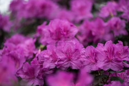 Foto de Flores de primer plano vista hermosa pequeña floración púrpura - Imagen libre de derechos