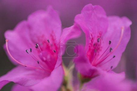 Foto de Flores de enfoque selectivo de hermosa floración dulce violeta - Imagen libre de derechos