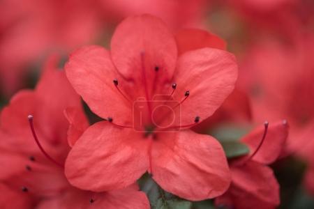 Foto de Flores de enfoque selectivo de hermosa floración fresca roja - Imagen libre de derechos