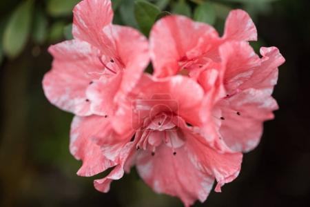 Foto de Flores de primer plano vista de hermosa floración fresca rosa - Imagen libre de derechos
