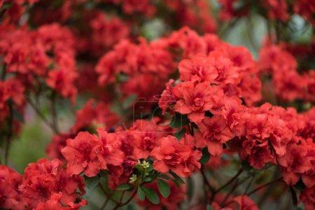 Foto de Vista cercana de hermosas flores rojas flor pequeñas - Imagen libre de derechos