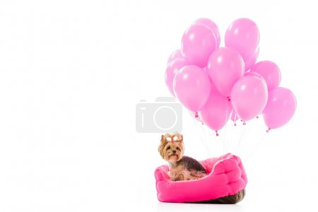 Yorkie dog sitting on bed with balloons isolated on white