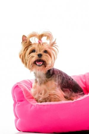 Yorkie dog sitting on pink bed isolated on white