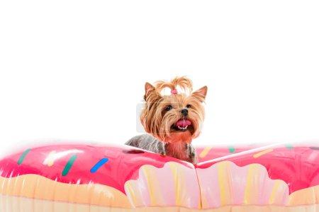 Yorkshire terrier sitting on doughnut swim ring isolated on white