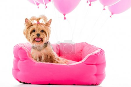 Yorkshire terrier sitting on bed with balloons isolated on white