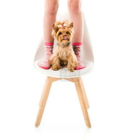 Woman standing by Yorkshire terrier on chair isolated on white
