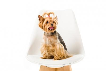 Funny yorkshire terrier sitting on chair isolated on white