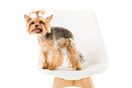 Cute yorkie dog standing on chair isolated on white