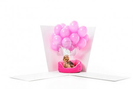 Yorkshire terrier in gift box with pink balloons isolated on white
