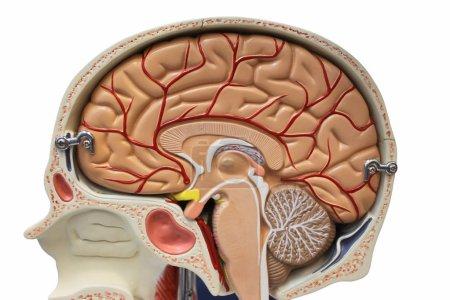 Photo pour Modèle d'anatomie de la section cérébrale - image libre de droit