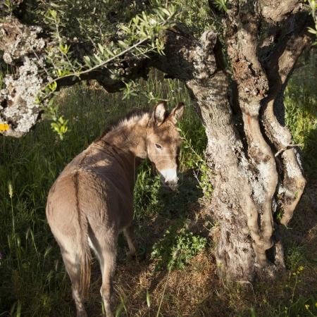 donkey stands under old olive tree and looks back