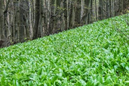 Photo for Allium ursinum, known as ramsons, in the forest. - Royalty Free Image
