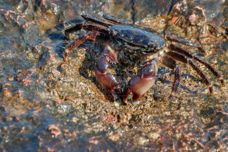 Photo pour Un crabe vivant sur le rivage rocheux de la mer . - image libre de droit