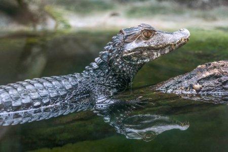 Photo pour Reflet du caïman à lunettes - Crocodile caïman dans l'eau . - image libre de droit