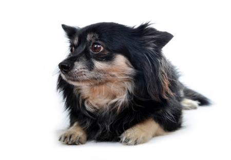 Small dog Chihuahua.