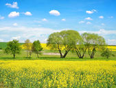 Spring landscape with field of rapeseed.