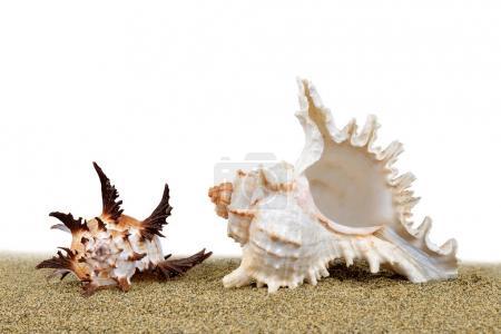 Tropical sea shell on the sand.