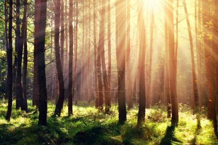 Photo for Morning scene in the forest with sun rays. - Royalty Free Image
