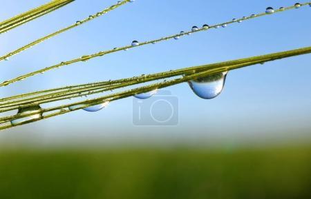 Dew drops on barley ear close up.