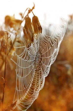 Spider web with dew drops at sunrise.