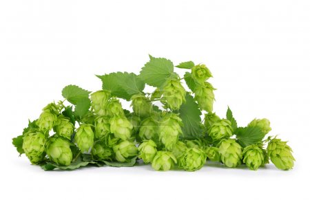 Hop cones (Humulus Lupulus) isolated on a white background.